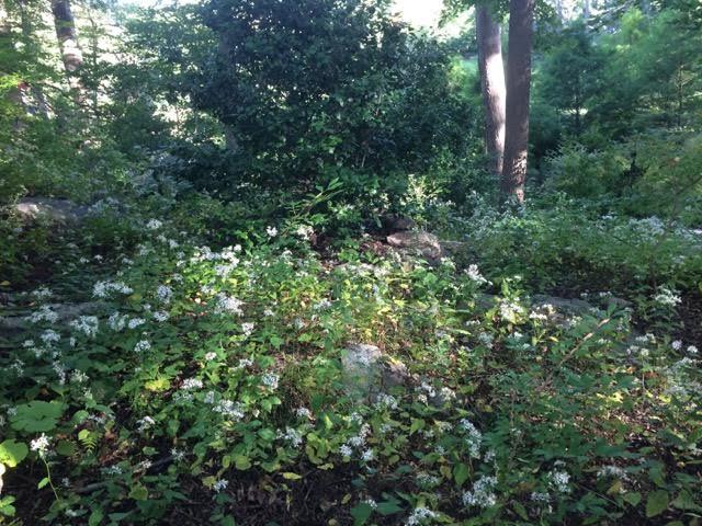 Garden Spotlight: Aster Divaricatus