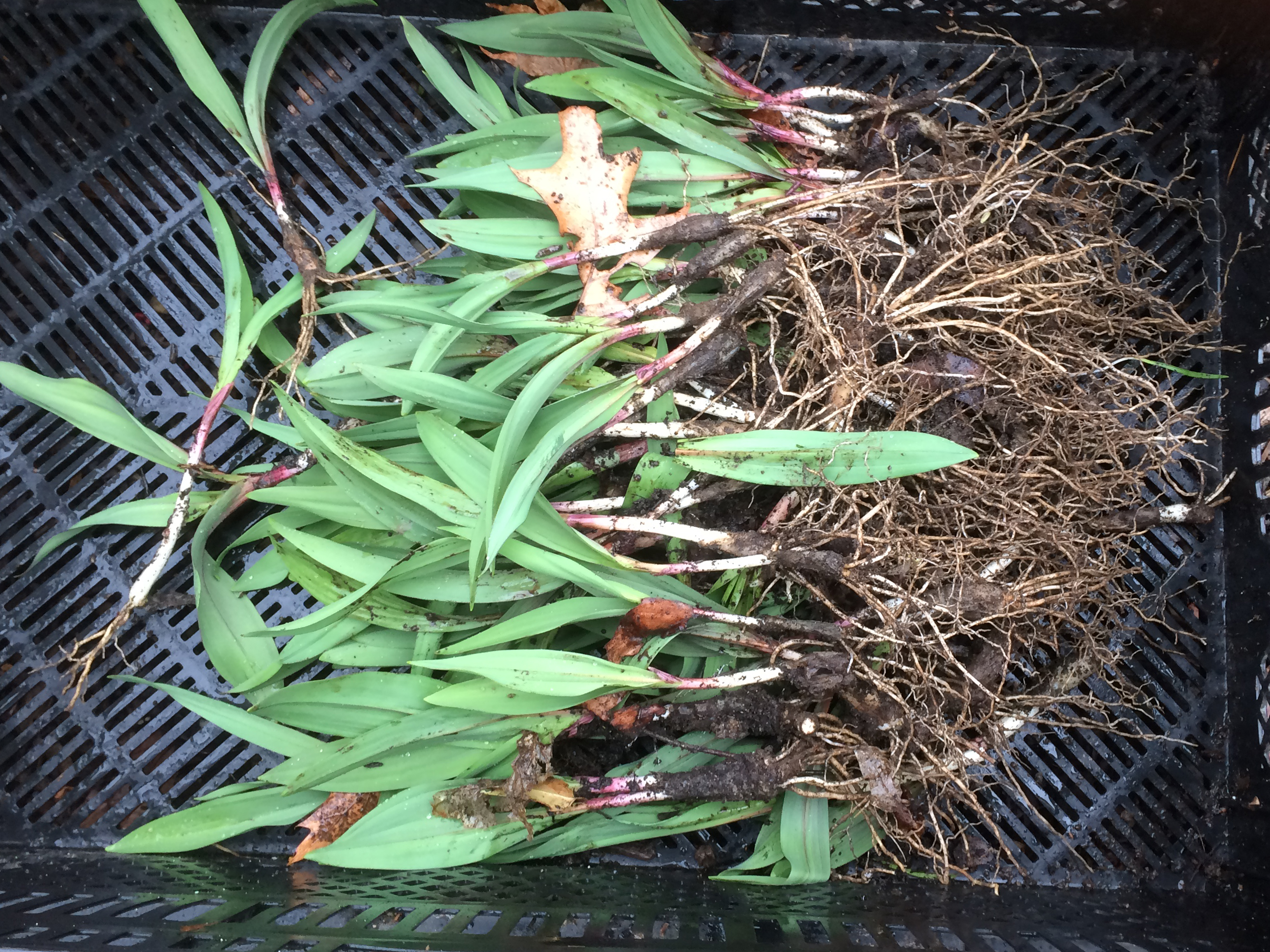 Freshly Harvested Ramps