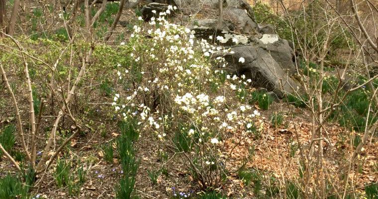 The First Azalea's Blooming at Sleepy Cat Farm