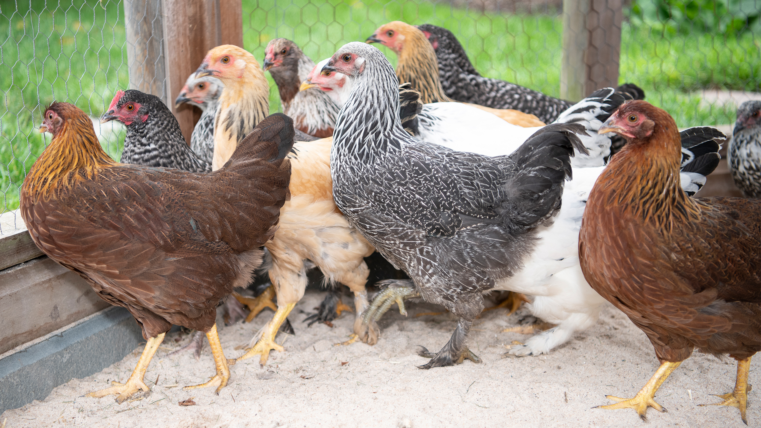New Laying Hen Flock Arrives at Sleepy Cat Farm