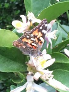 Photo 4: Painted Lady Butterflies follow bees and further pollinate flowers of Meyer Lemons.