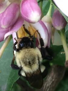 Photo 3: Bumble bees force buds open while extracting nectar and at the same time pollinating the Lemon flowers.