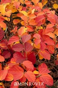 Fothergilla in Fall