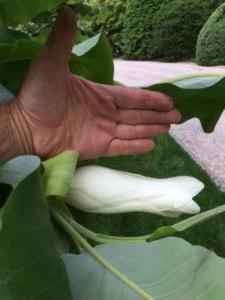Scale of Magnolia Bloom